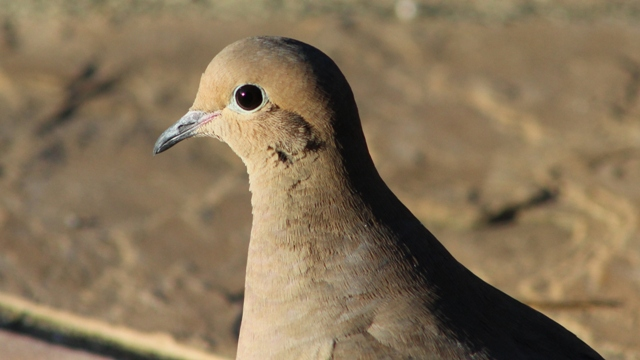 Mourning Dove, up close, in East Texas