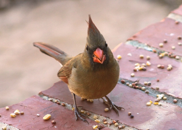Female Cardinal, feeding in winter... Tyler, Texas