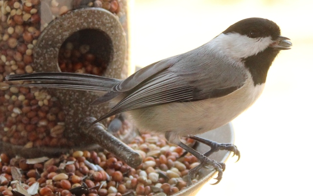 Carolina Chickadee in East Texas