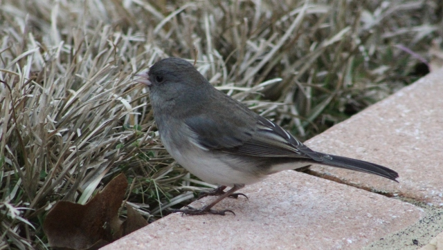 Junco in East Texas ... always glad to see this winter migrant!