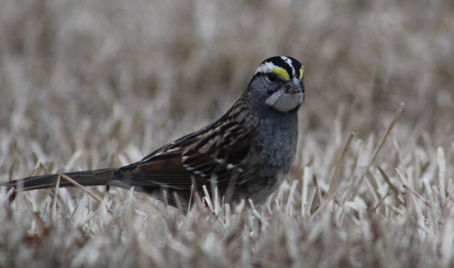 White Throated Sparrow ... a familiar winter migrant to East Texas