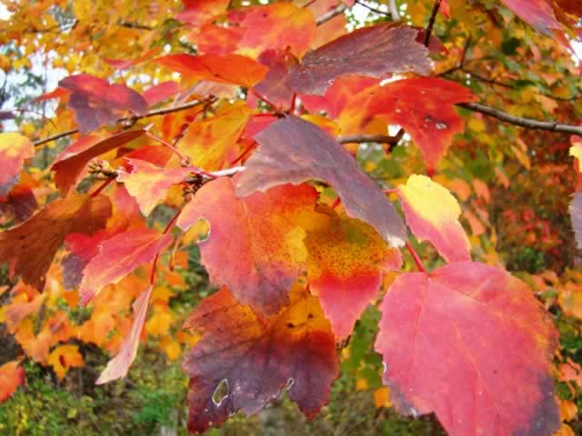 Maple tree colors at peak color in Texas