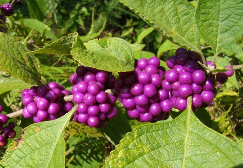 Beauty Berry - A fall native plant that grows in the wild in East Texas