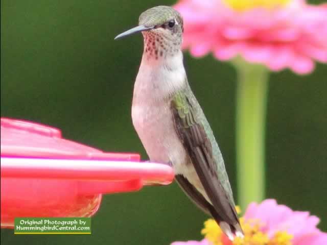 & raquo; Hummingbird Migration & raquo; Shaver's Creek