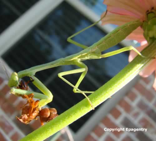 Preying Mantis devouring a wasp - Tyler Texas