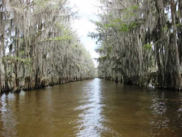 Miles of Spanish Moss in Caddo Lake
