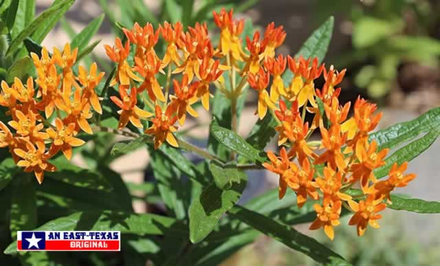 Bright orange and yellow Butterfly Weed thrives in the heat of East Texas summers