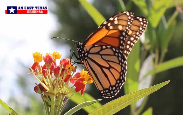 Two favorites in our East Texas garden: Tropical Milkweed and Monarch Butterflies