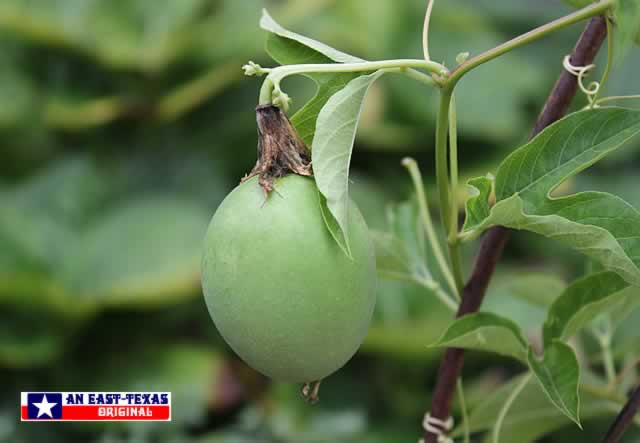 The fruit of the native Passion Vine: The MayPop