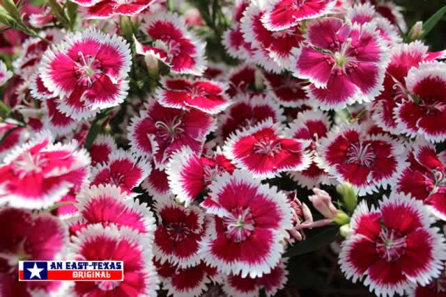 Easy to grow, with plenty of colorful returns ... from these pink and white Dianthus
