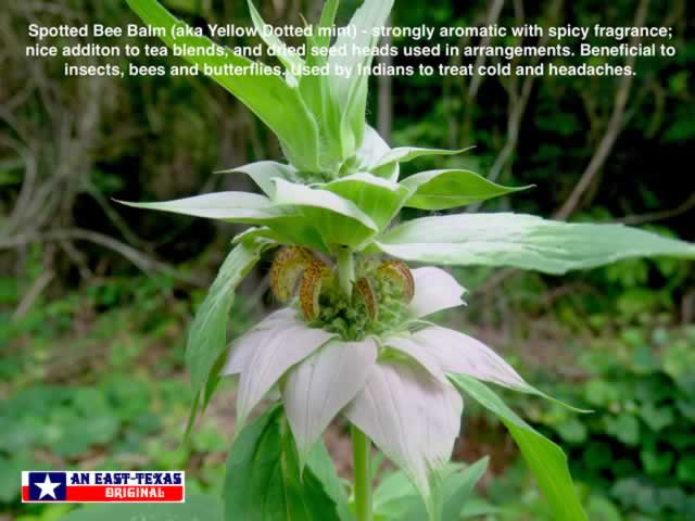The complexity of the Spotted Bee Balm growing wild ... seen here in East Texas