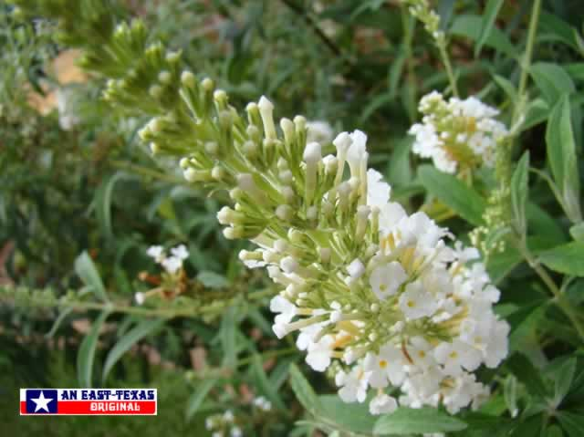 White Butterfly Bush in the East Texas home landscape