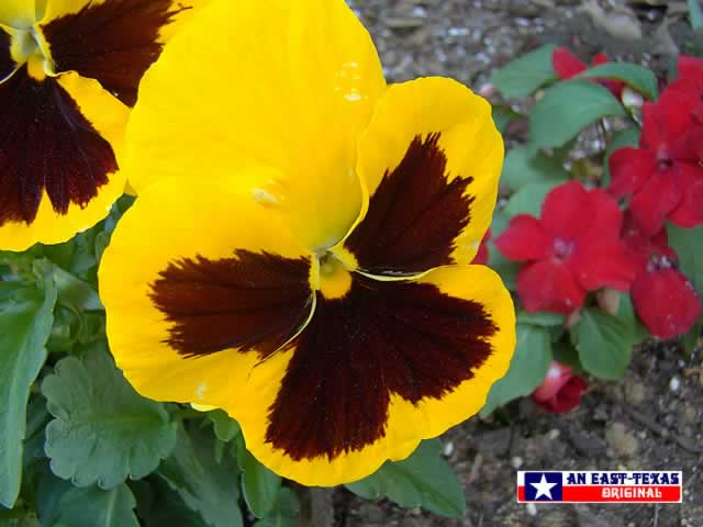 Colorful pansies ... a favorite in the East Texas landscape through the winter